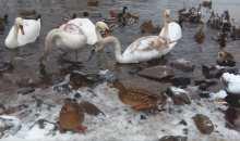 Видеофакт: в Минске остались зимовать лебеди и утки